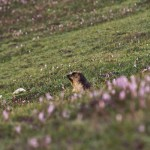 Marmot which are in abundance in Kaghan and Kashmir Valleys