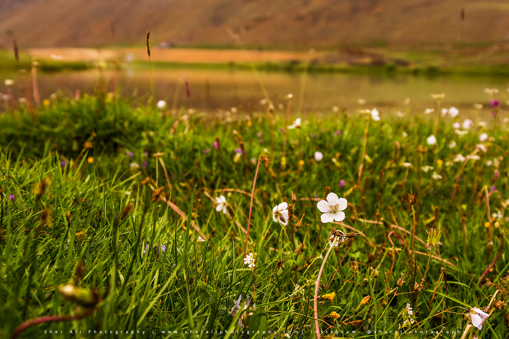 Flowers of Broghil valley
